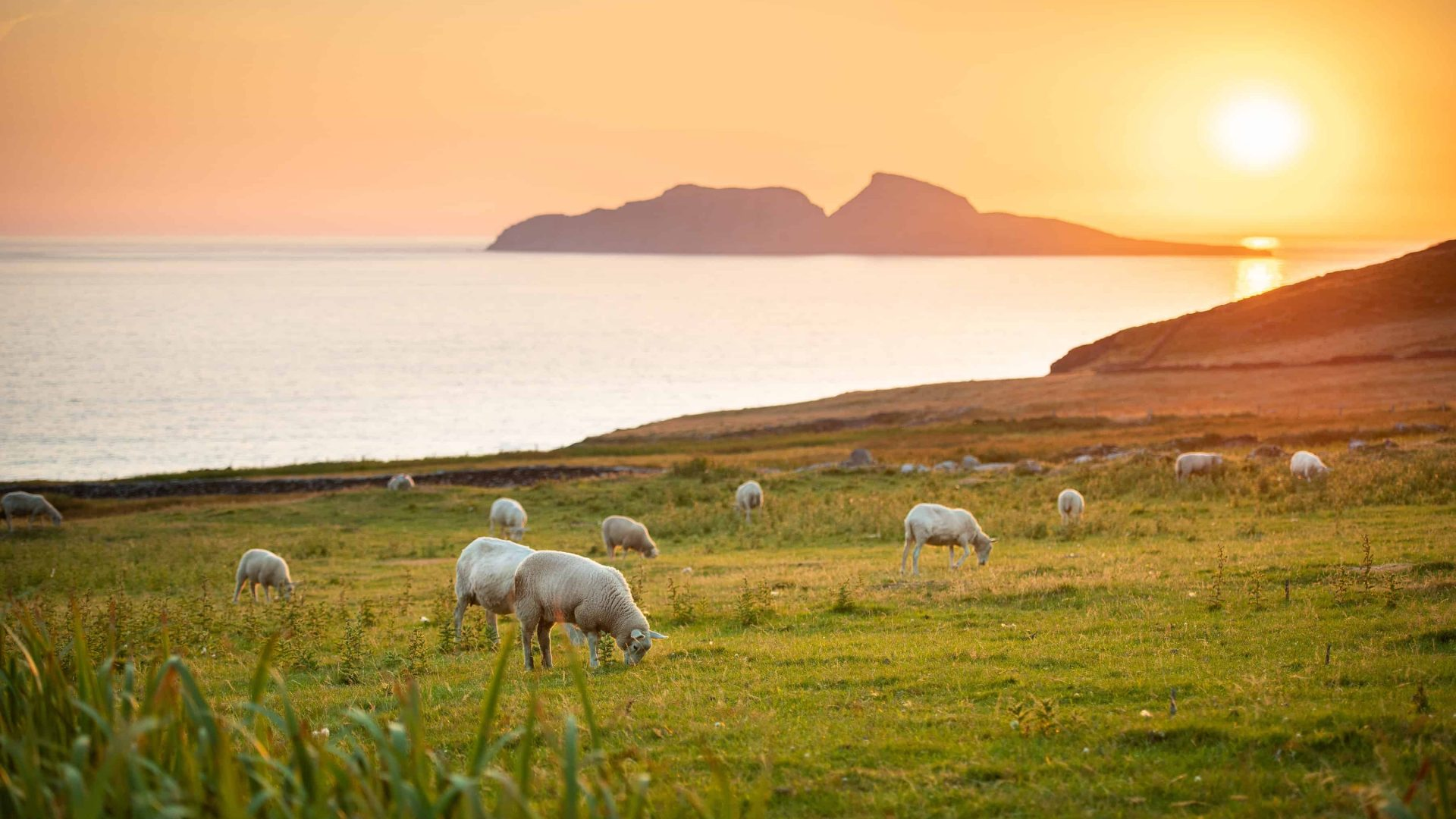Sheep, Skellig Ring, Co. Kerry